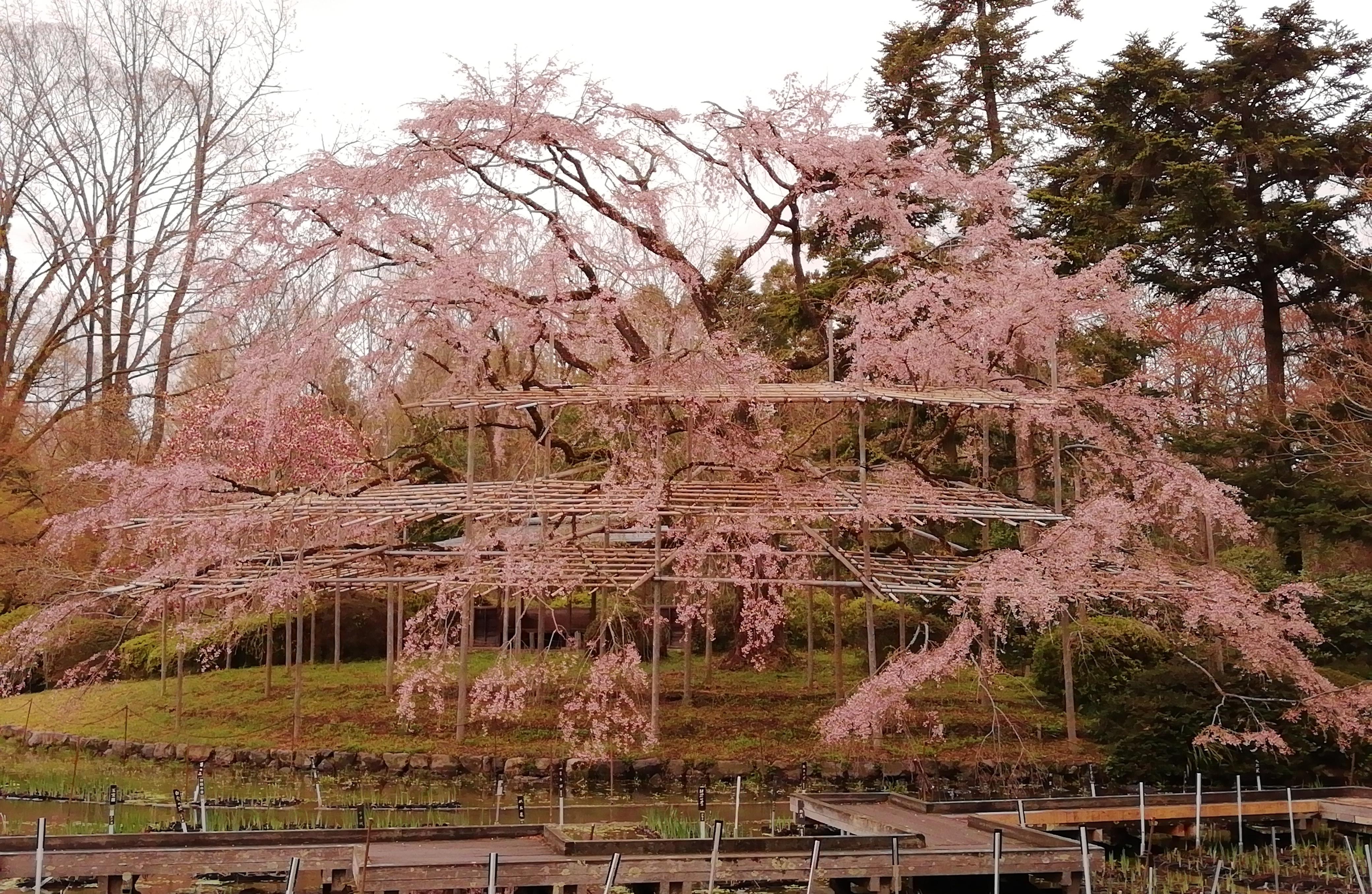 20200401IMG_20200401_083935大枝垂桜(大芝生地北)